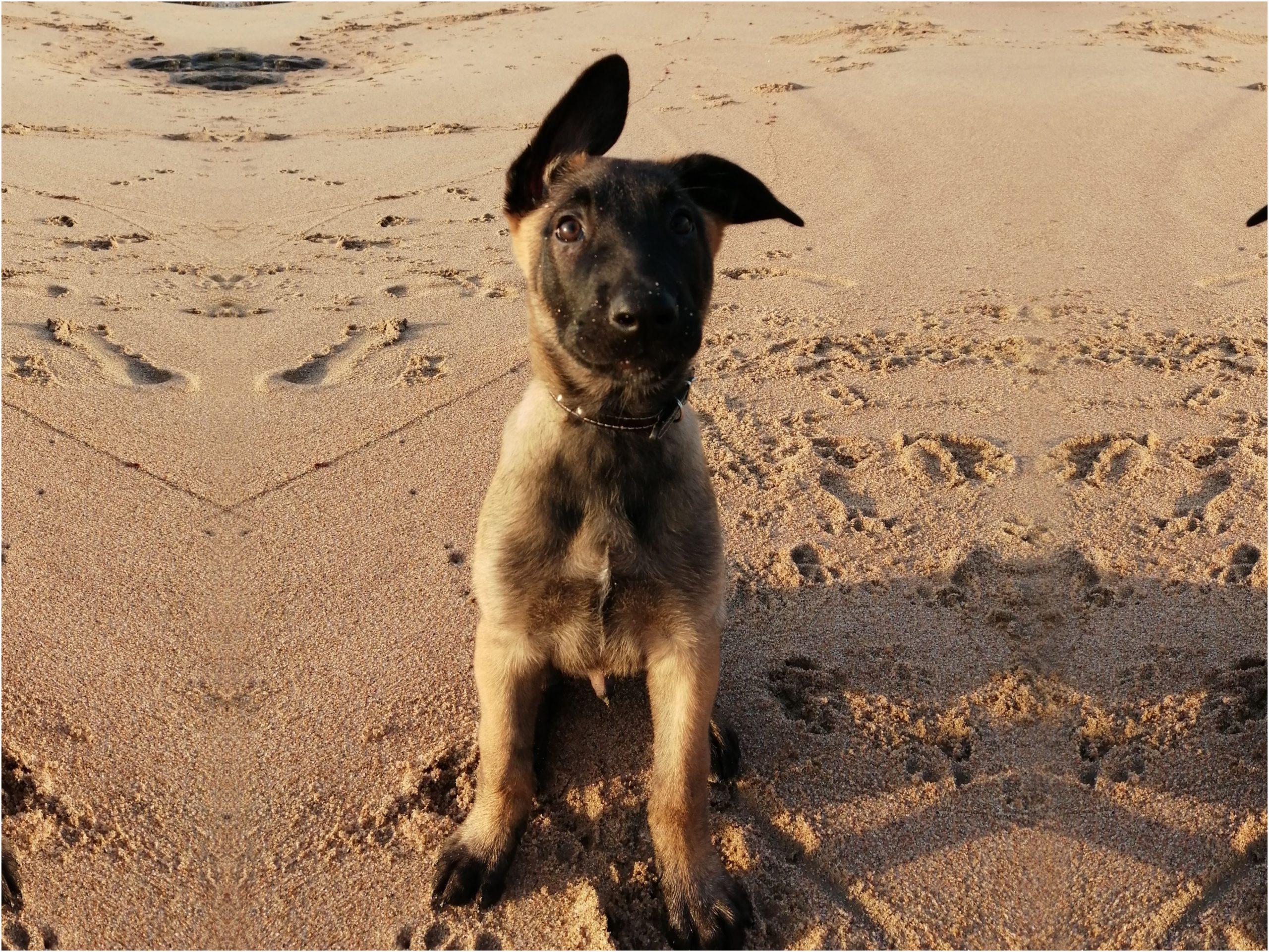 a puppy during obedience training at the beach