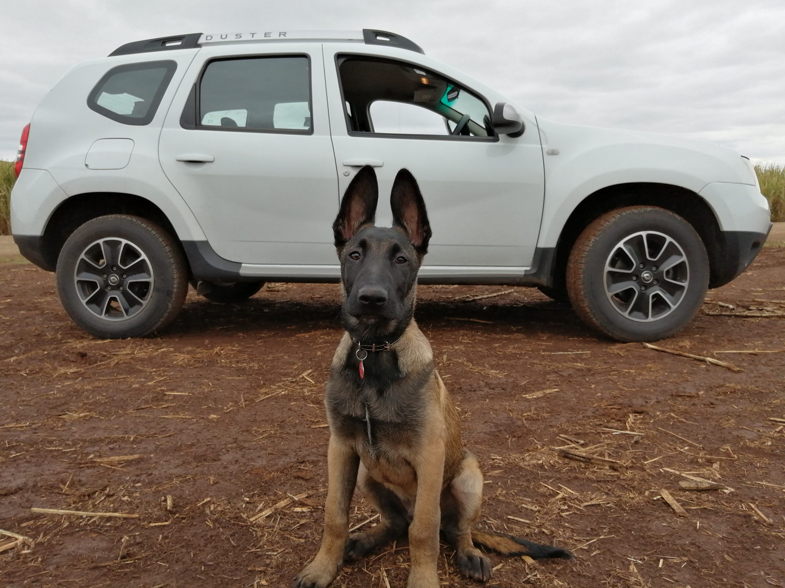 K9 waiting obediently
