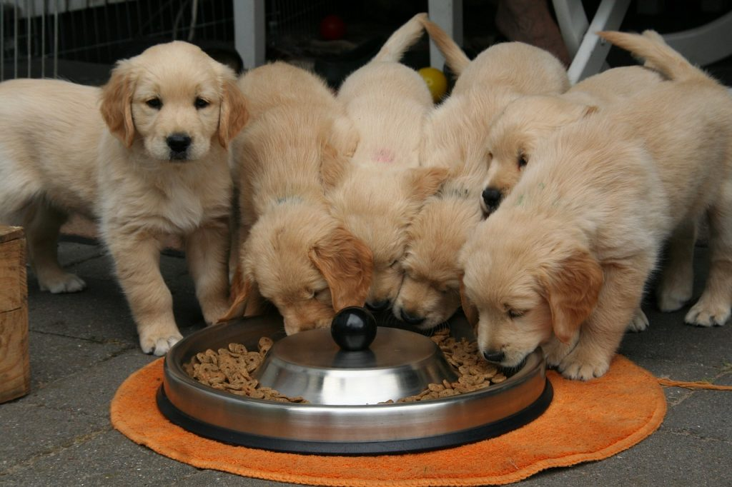 puppies eating food